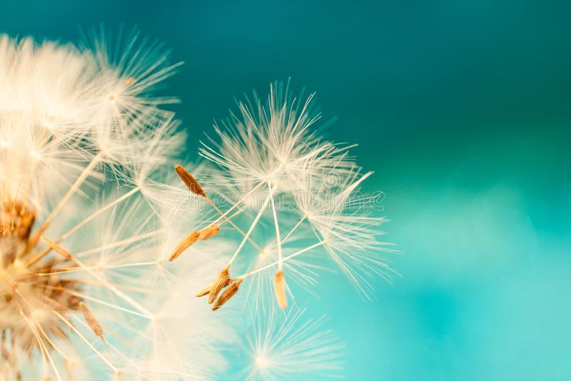 White dandelion seeds blowing in blue turquoise background stock photography
