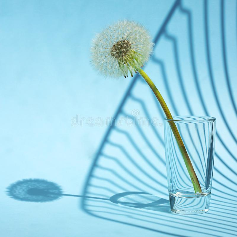 White Dandelion in small glass in bright light with lines of shadows on blue background. Creative contemporary pop art. Square stock photo