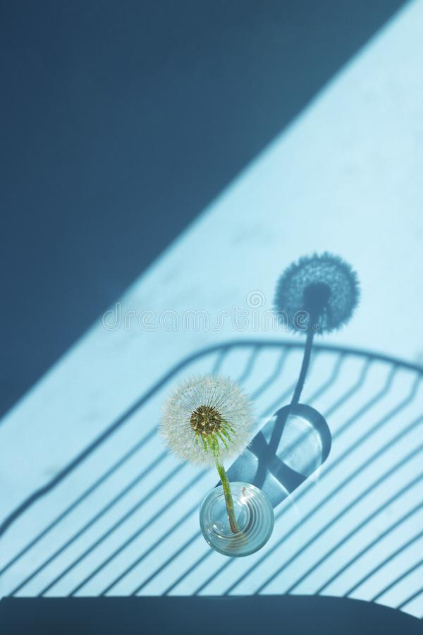 White Dandelion in small glass in bright light with lines of shadows on blue background. Creative contemporary pop art. Vertical royalty free stock photos