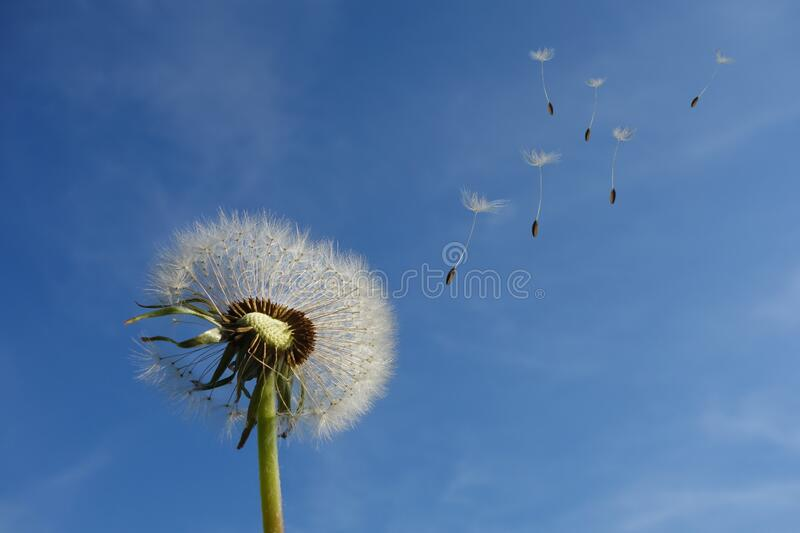 White Dandelion Under Blue Sky and White Cloud stock image