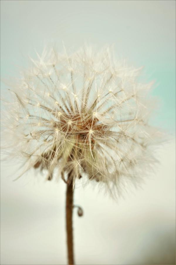 White Dandelion. On a blue sky royalty free stock photography