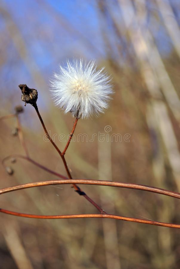 White dandelion withered soft flower on dry stem, blurry twigs and bright blue sky background. Soft bokeh royalty free stock photos