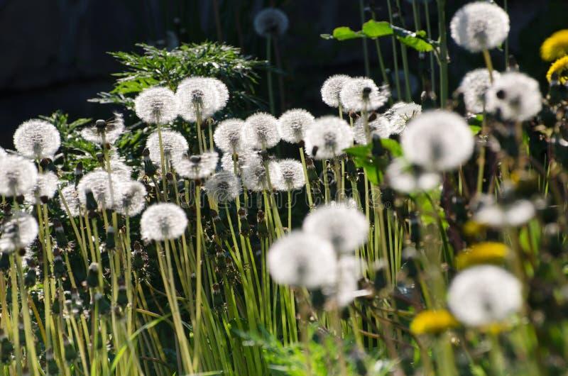 White dandelions on black stock image