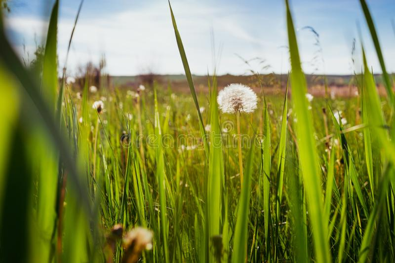 White dandelions on the field.  royalty free stock photography