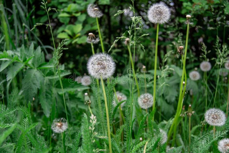 White dandelions among the green grass. The white dandelions among the green grass stock photography