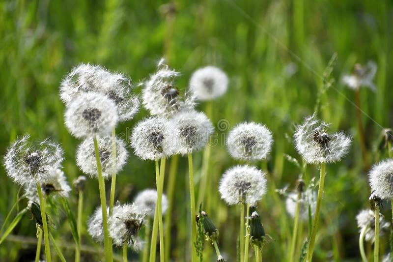 White dandelions on a natural blurred background. royalty free stock photo