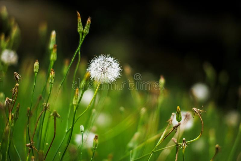 Closeup of White dandelions in spring on the ground with green field background. White dandelions in spring on the ground with green field background royalty free stock image