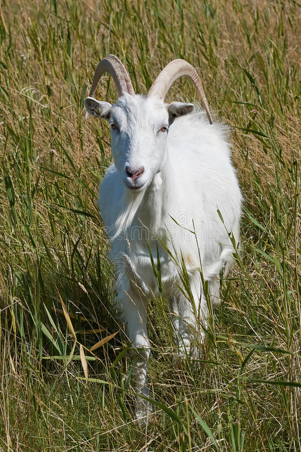 White Danish Landrace goat. Seen from the front standing in natural surroundings stock photos