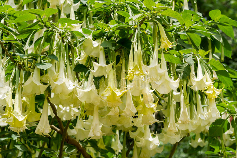 Beautiful flowers 2019 white datura flower beautiful flowers white datura flower various pictures of the most beautiful flowers can be found here find and download the prettiest flowers ornamental plants mightylinksfo
