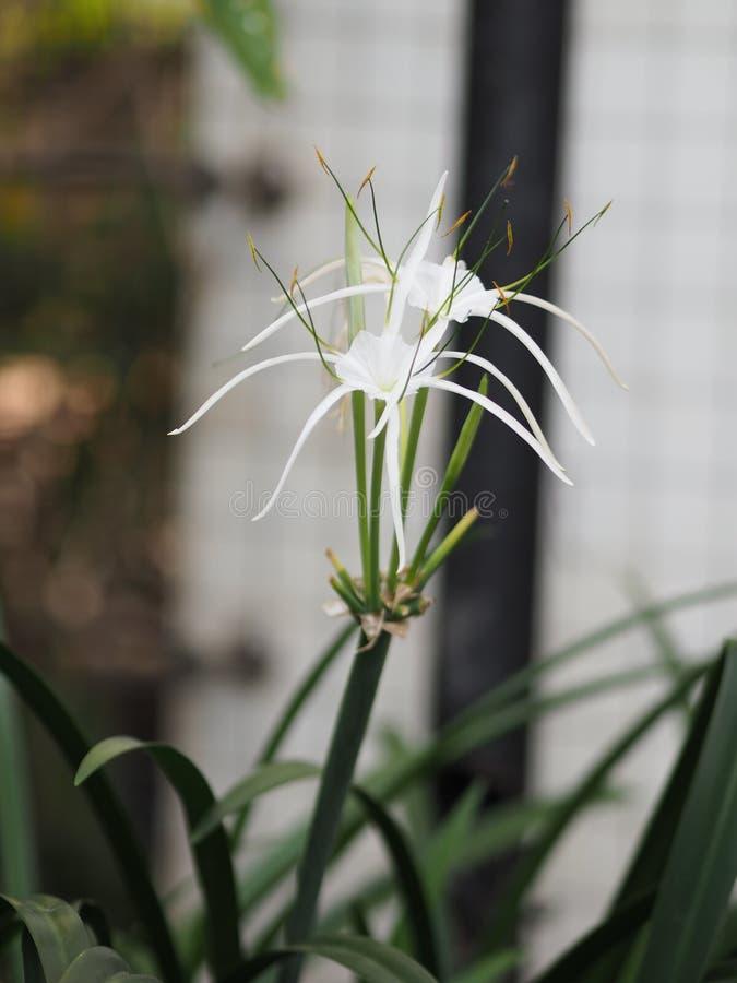 White Dazzle pure flower Hippeastrum Amaryllis Christmas Gift stock photos