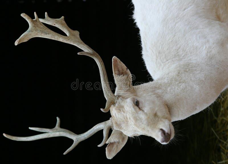 White Dear. Portrait of white dear royalty free stock photography