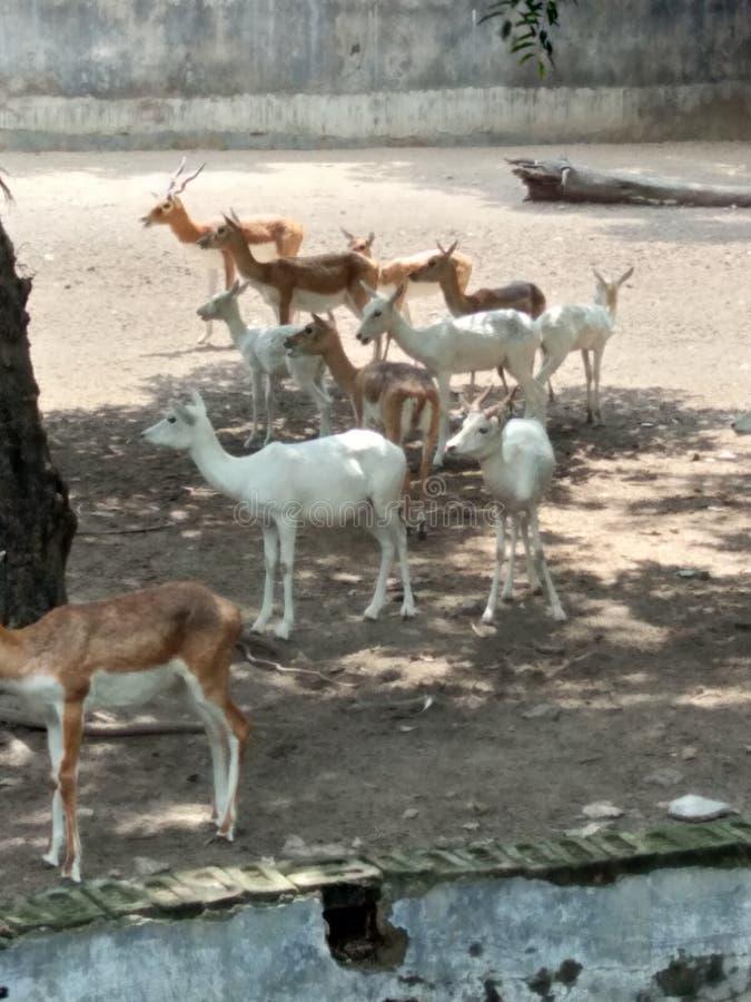 White deer stock images