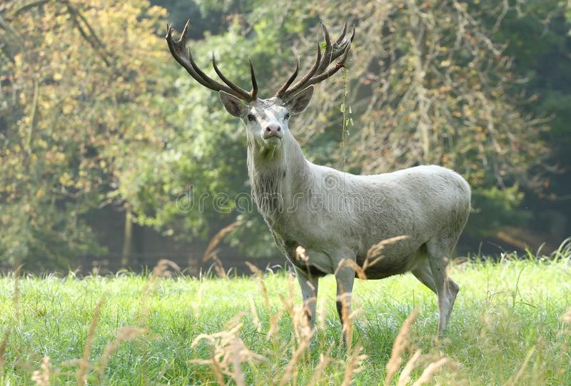White deer male royalty free stock images
