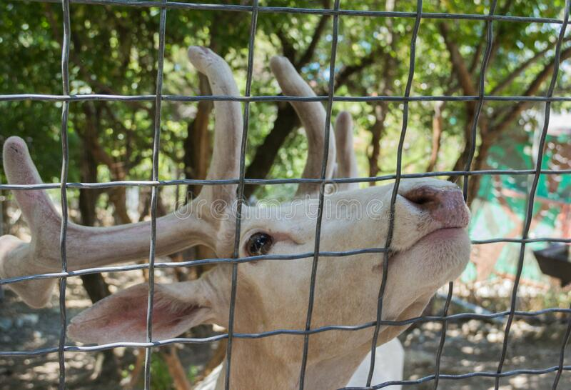White deer in the zoo. A wild animal in captivity. Animals in the zoo.  stock photo