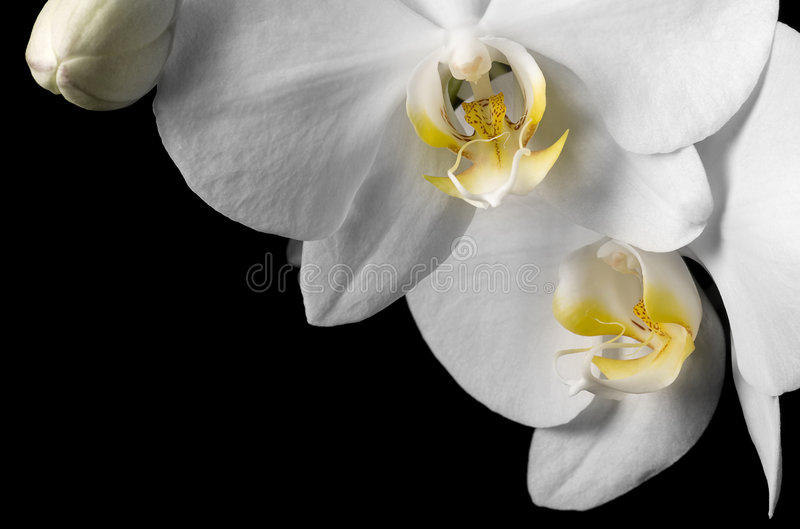 White Dendrobium Orchid On Black Background Stock Photo ...