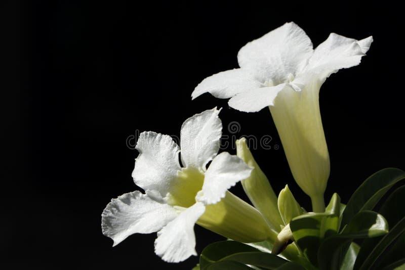 White Desert Rose Flower or Adenium obesum, Impala Lily, Mock Azalea isolated. royalty free stock images