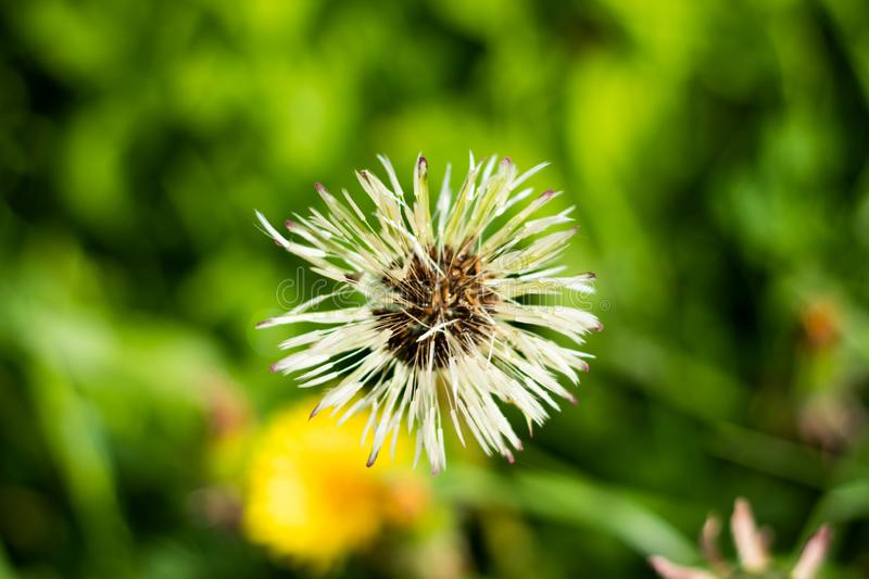 White detailed view of a dandelion royalty free stock image