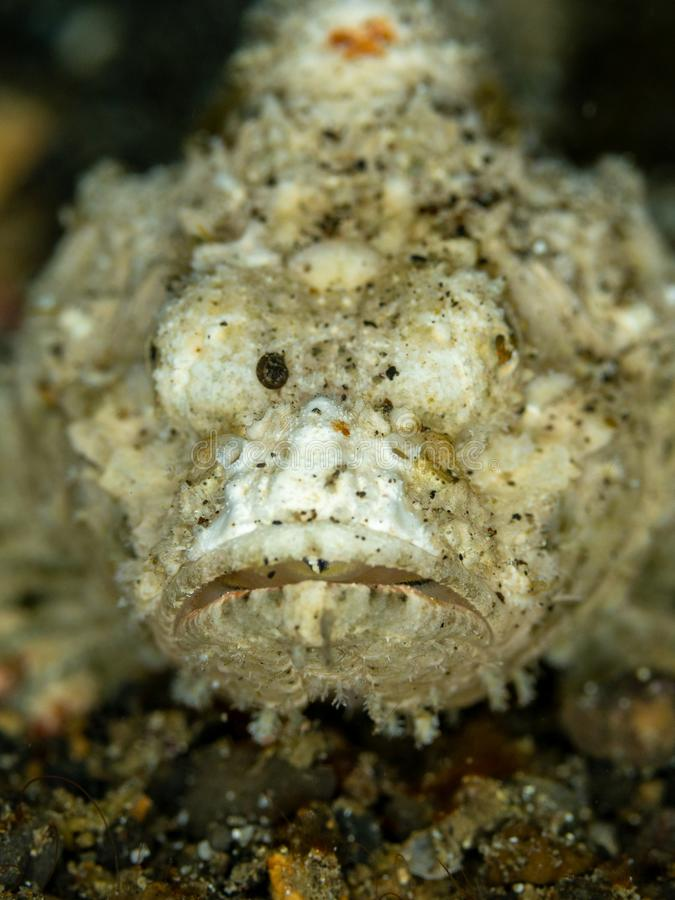 Devil scorpionfish, Scorpaenopsis diabolus. Lembeh, North Sulawesi royalty free stock photos
