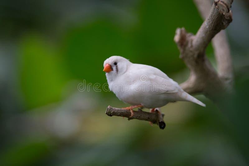 white diamond mandarin bird alone resting on a br stock images