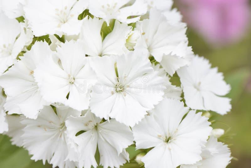 White Dianthus barbatus flowers royalty free stock photo