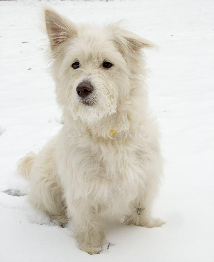 Free White Dog Royalty Free Stock Image - 1511416
