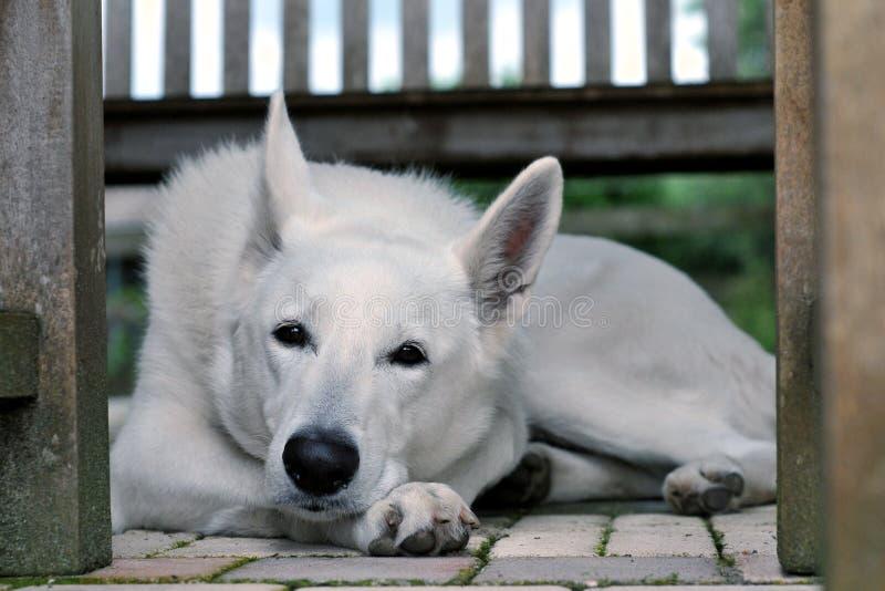 Download White dog stock photo. Image of animal, laying, resting - 27251498