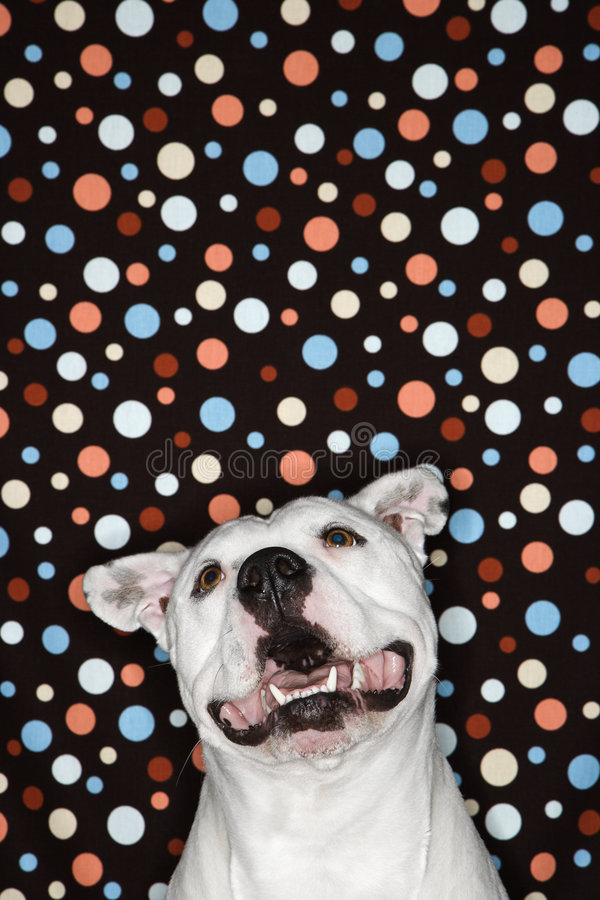 Download White Dog Against Polka Dot Background. Stock Image - Image: 2037919