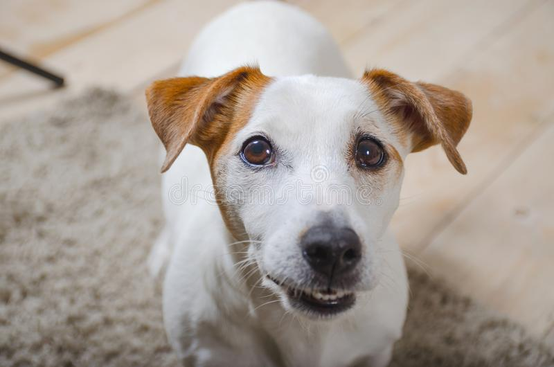 White dog bares his teeth and looking at the camera. The white dog let the teeth and looking at the camera from the bottom up stock photos