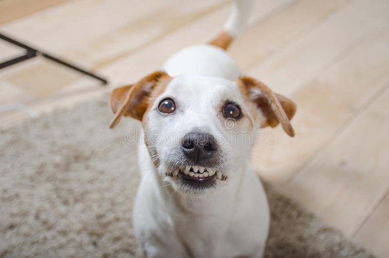 White dog bares his teeth and looking at the camera. The white dog let the teeth and looking at the camera from the bottom up stock photo