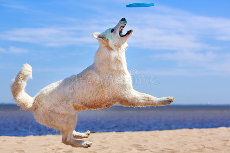 Download White dog on the beach stock image. Image of jump, white - 31385879