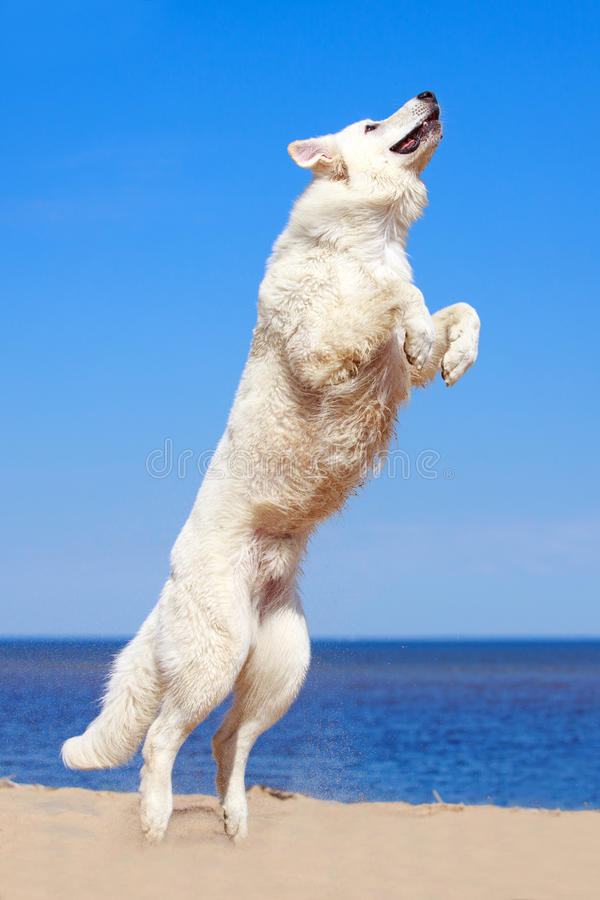 Download White dog on the beach stock photo. Image of berger, ocean - 31385968