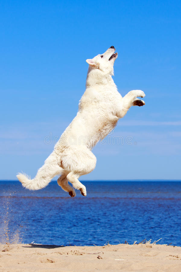 Download White dog on the beach stock photo. Image of swiss, blanc - 31386044