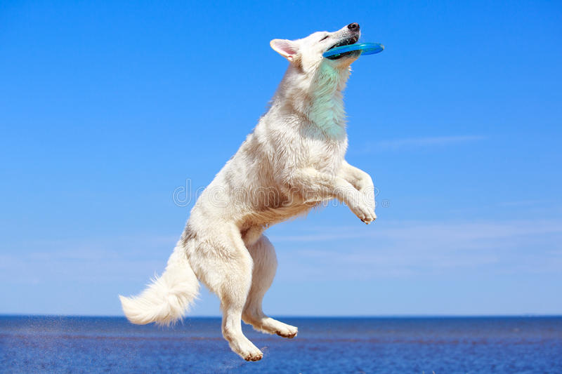 Download White dog on the beach stock image. Image of berger, blanc - 31386279