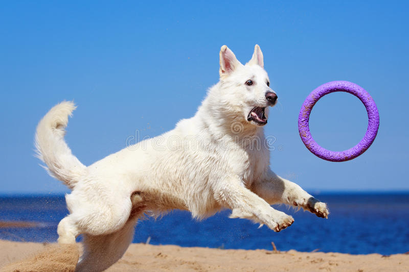 Download White dog on the beach stock photo. Image of animal, water - 31386512