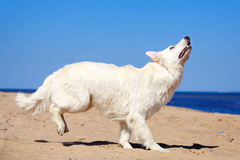 Download White dog on the beach stock image. Image of forest, ocean - 31386585