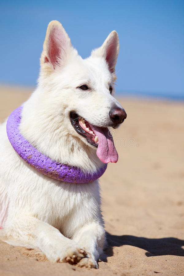Download White Dog On The Beach Stock Photo - Image: 31386790