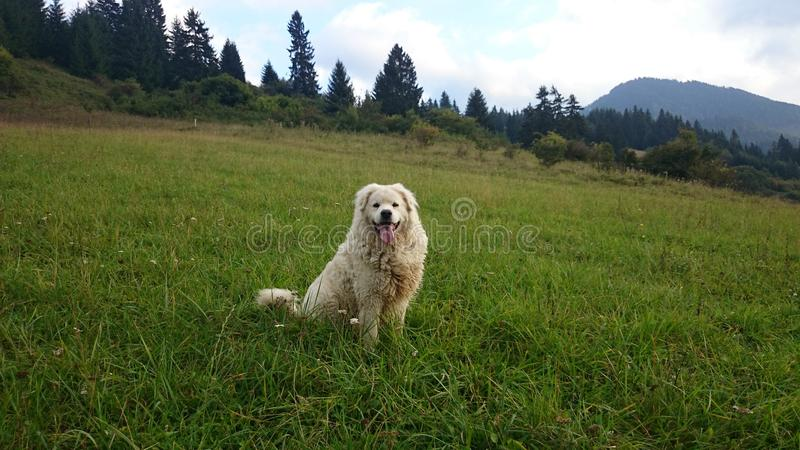 White dog in a beautiful countryside royalty free stock image