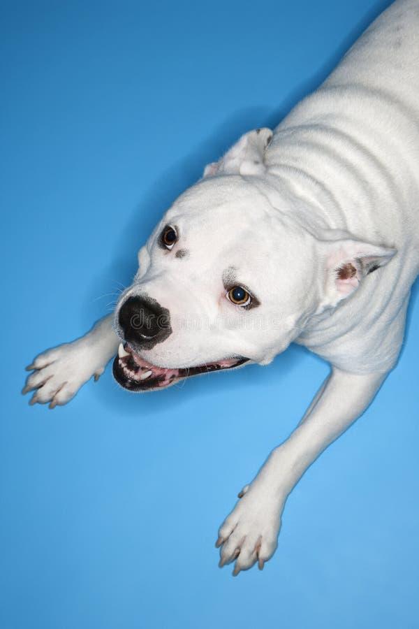 White dog on blue background. stock photos