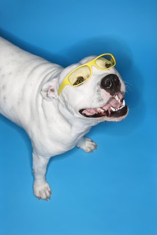 White dog on blue background. stock images