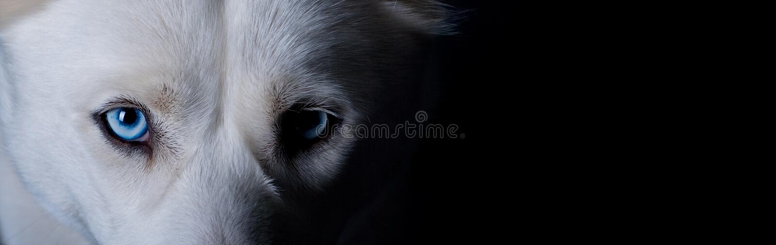 White dog with blue eyes. Wide angled portrait of white dog with blue eyes; black background and copy space royalty free stock photos