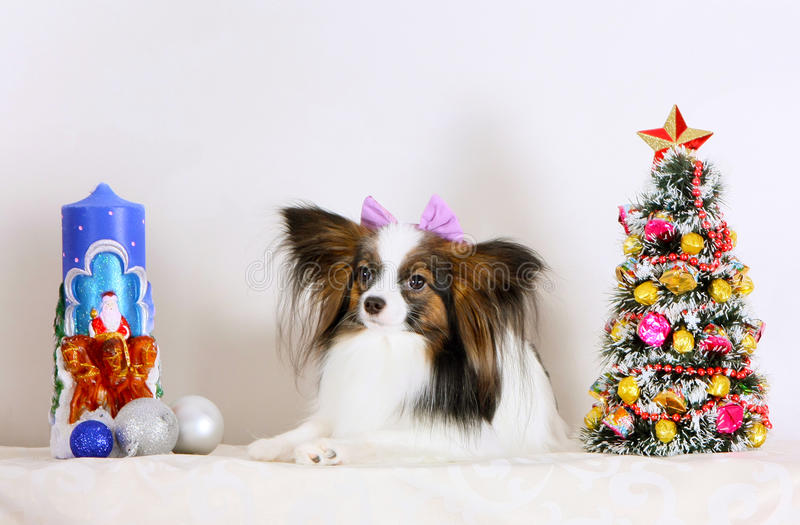 A white dog with a bow lies with Christmas decorations. stock photo