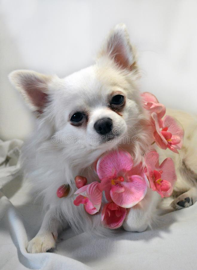 White dog breed Chihuahua with pink orchid flowers royalty free stock photos