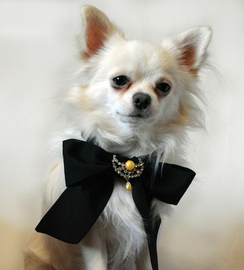White dog breed Chihuahua in a tie with a vintage brooch stock photo