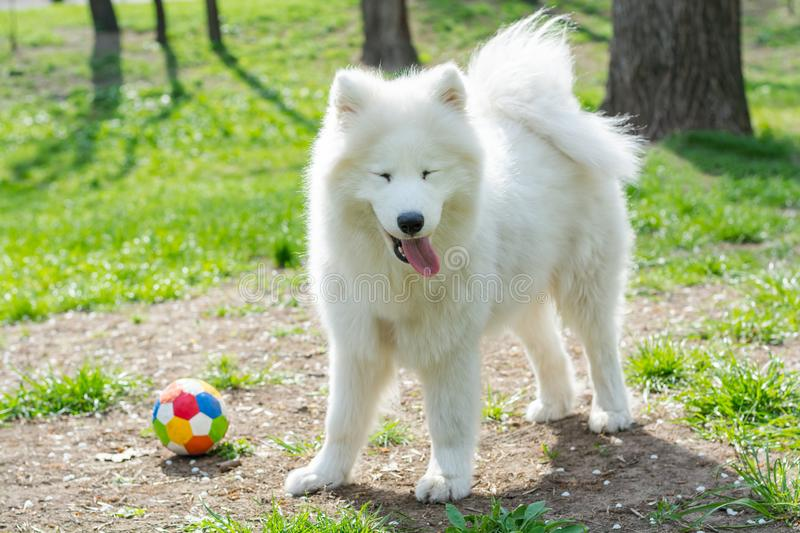 White dog breed Samoyed plays with a multi-colored ball in the park in spring stock photo
