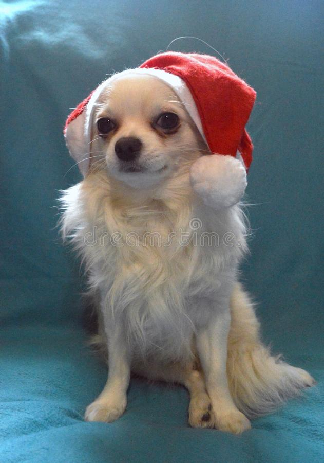 White dog Chihuahua breed in a Santa hat on a blue background royalty free stock photography
