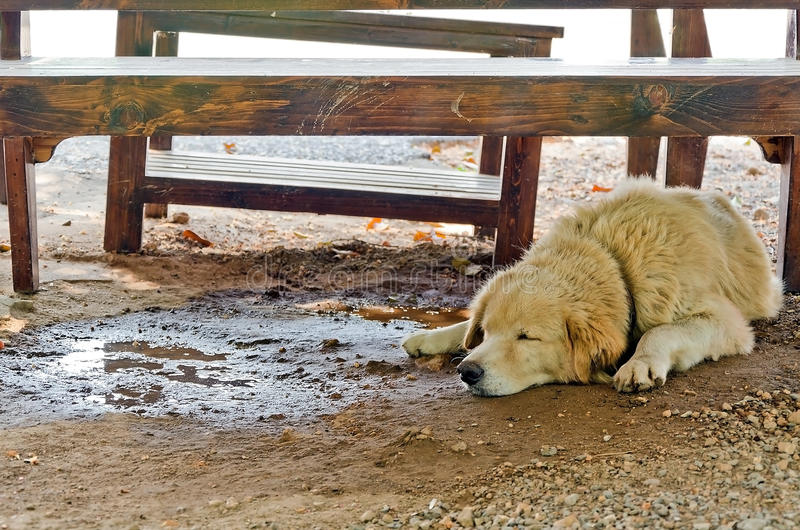White dog with cools down under the table on a hot day.  royalty free stock photography