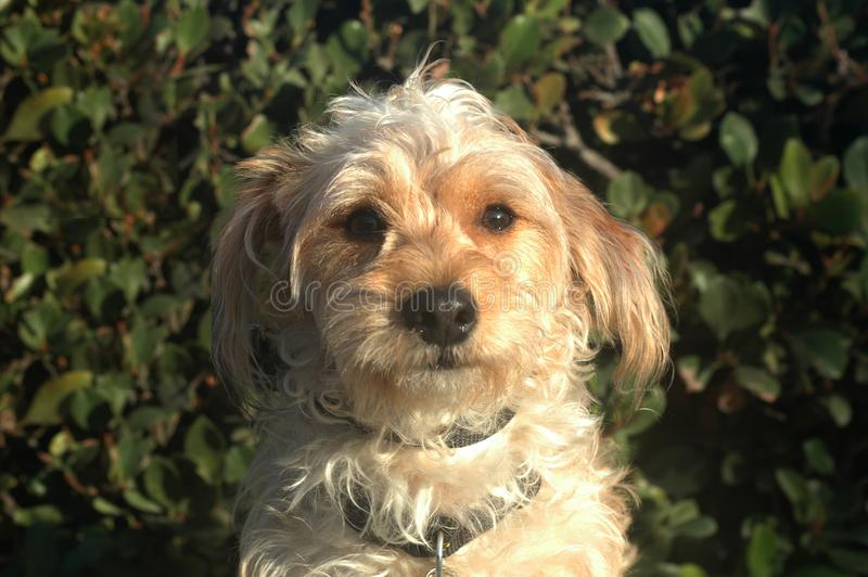 White dog dark green background Mix breed pup royalty free stock image