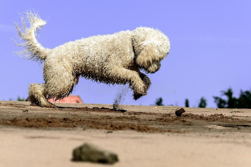 White Dog Digging In Sand Free Public Domain Cc0 Image