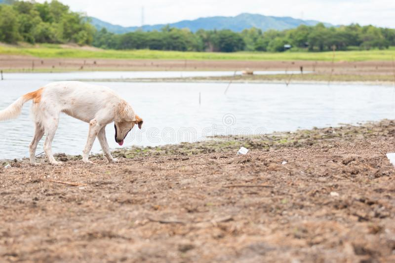 White dog find food at Land with dry and cracked ground because dryness global warming. Global warming background stock photography