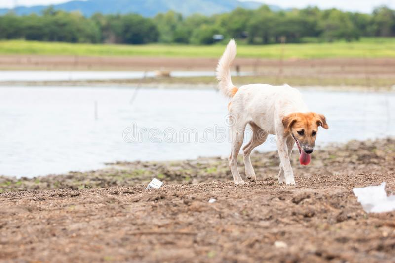 White dog find food at Land with dry and cracked ground because dryness global warming. Global warming background royalty free stock photo